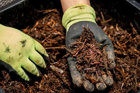 Composting earthworms