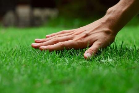 turf grass 1